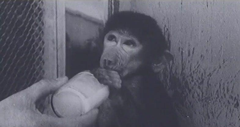Эксперимент секс с обезяьной