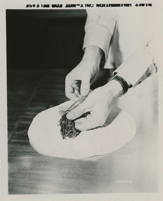 A frog being injected with concentrated urine during a pregnancy test at the 406th Medical General Laboratory, Camp Zama, Kanagawa Prefecture, Japan. 11/05/1956