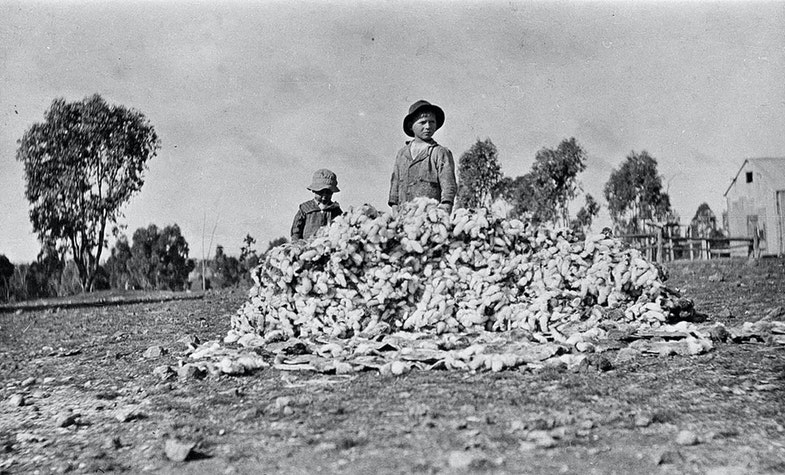 Pile of rabbit skins from the winter extermination work - Rocky View, Alectown, NSW