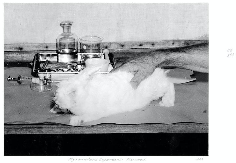 Myxomatosis experiment, Sherwood, c 1952