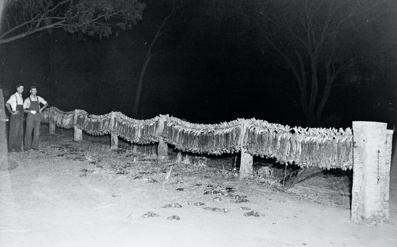 wo men standing beside rabbit carcasses hanging on a fence. This photo was taken at the height of the 1949 rabbit plague. In 1950, the myxomatosis virus was introduced to Australia in an attempt to control rabbit populations