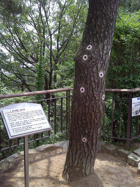 Bukaksan pine tree with bulletholes marked