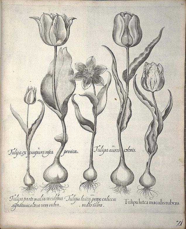 Tulipa from Hortus Eystettenis